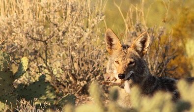 Coyote with rabbit in mouth