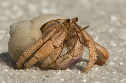 Orange hermit crab in a white shell walking on white sand