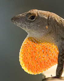 Brown Anole lizard displaying his bright orange throat fan