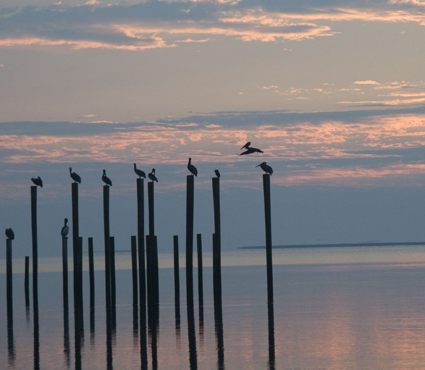 Pelicans on ocean pilings in a pink and blue sunrise