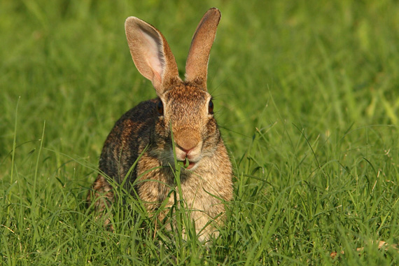Cottontail rabbit nibbling grass
